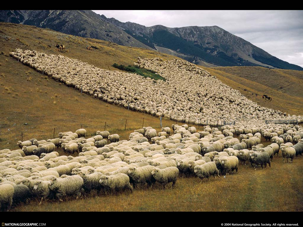 Стада овец мериносов, стадо, овцы