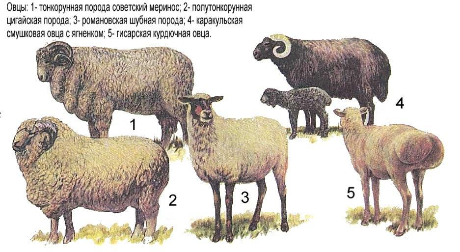 Породы овец СССР